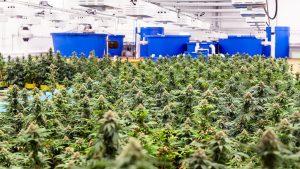 Zealous expansion underway for Hamilton-area cannabis operation