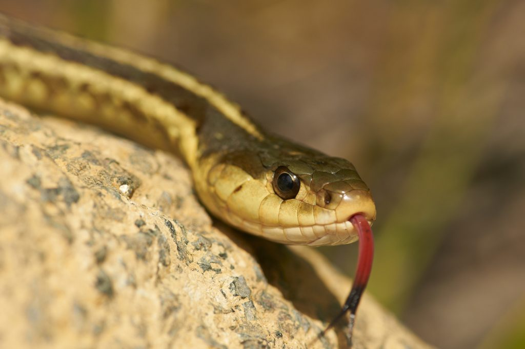 Snake experts tracking mitigation efforts for Keystone XL pipeline