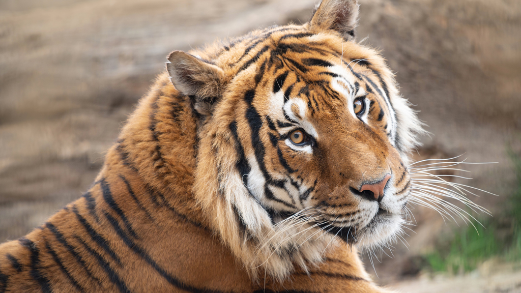 New tiger space roars into action at Edmonton's Valley Zoo